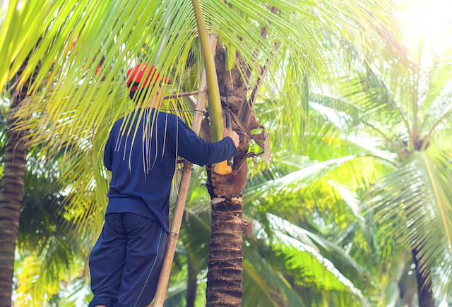 Palm Tree Trimming Service Pasco County FL